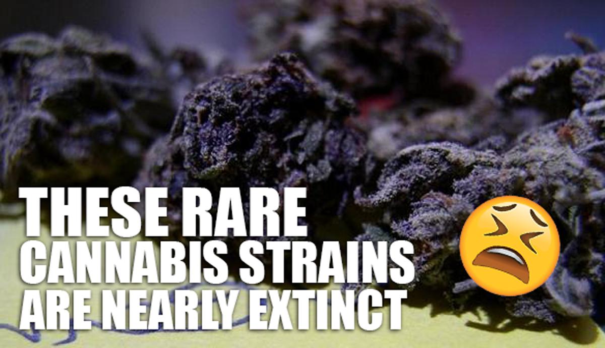 THESE RARE CANNABIS STRAINS ARE NEARLY EXTINCT | Rare Cannabis